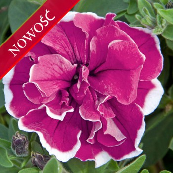 Petunia (Petunia) - Sweet Sunshine - Purple Picotte